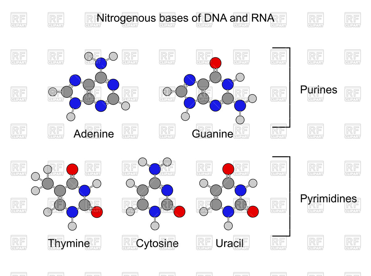 Purine and pyrimidine nitrogenous bases Vector Image #86155.