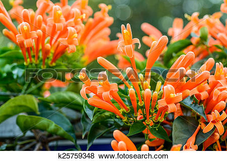 Pictures of Orange trumpet, Flame flower, Fire.