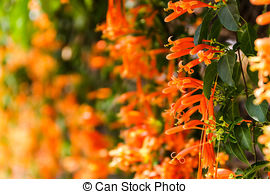 Stock Photo of Orange trumpet, Flame flower, Fire.