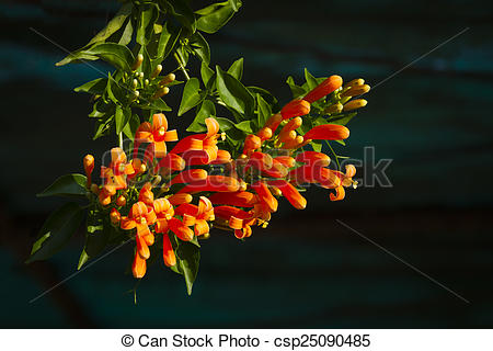 Pictures of Pyrostegia venusta, orange trumpet.