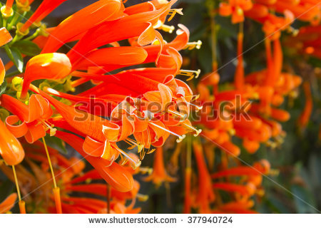Flower Pyrostegia Venusta Stock Photos, Royalty.
