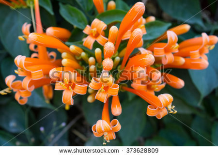 Flower Pyrostegia Venusta Stock Photos, Royalty.