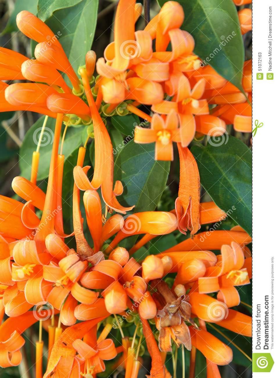 Flame Vine Or Pyrostegia Venusta Stock Photo.