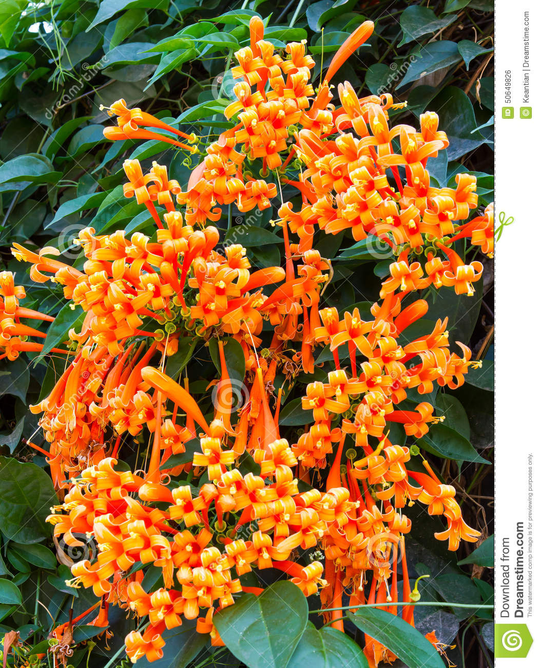 Bouquet Pyrostegia Venusta Stock Photo.