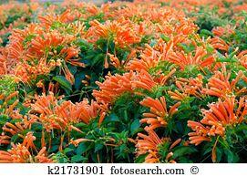 Pyrostegia venusta Stock Photos and Images. 78 pyrostegia venusta.