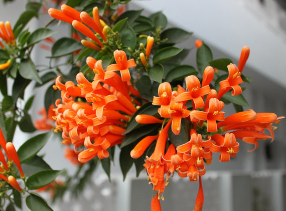 Heirloom 45 Seeds Flame Vine Pyrostegia venusta by seedsshop.