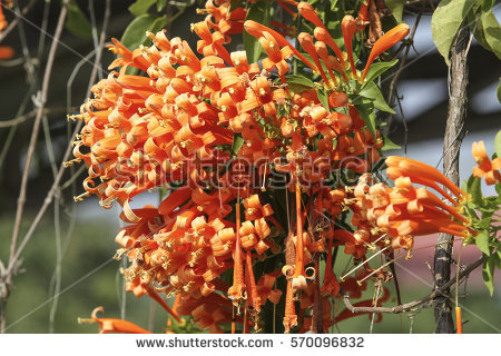 Pyrostegia Venusta Stock Images, Royalty.
