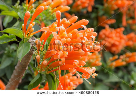 Pyrostegia Venusta Stock Photos, Royalty.