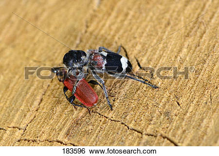 Stock Images of Checkered Beetle (Clerus mutillarius) with.