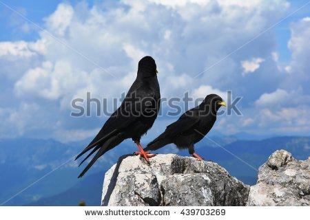 Alpine Daw Pyrrhocorax Graculus Black Bird Stock Photo 439703269.