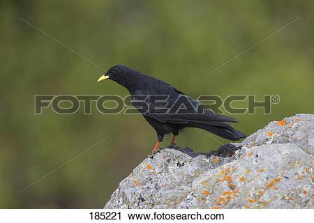 Stock Photography of Alpine Chough (Pyrrhocorax graculus). Adult.