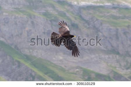 Raven Flying Stock Photos, Royalty.