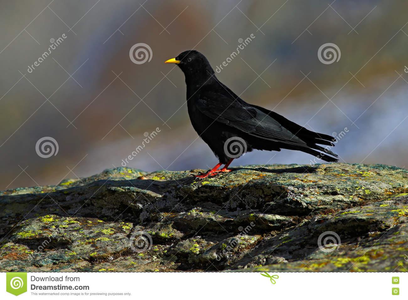 Alpine Chough, Pyrrhocorax Graculus, Black Bird Sitting On The.