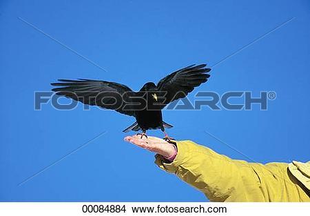 Stock Photo of Coloeus, Corvus, Jackdaw, Juniors, Pyrrhocorax.