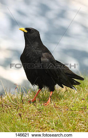 Stock Photography of Alpine Chough.