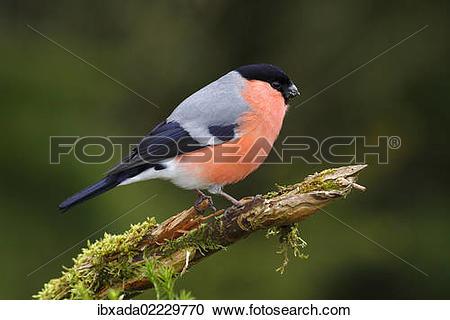 "Stock Photography of ""Bullfinch (Pyrrhula pyrrhula), male perchd."