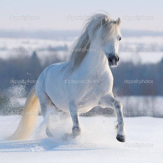 white horses in snow.