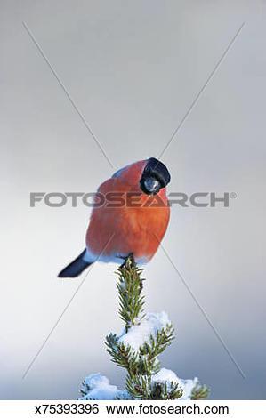 Stock Images of Bullfinch, (Pyrrhula pyrrhula) sitting on tree and.