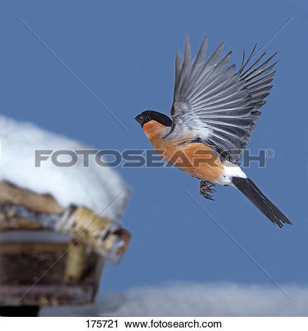 Stock Photography of Bullfinch (Pyrrhula pyrrhula), male in flight.