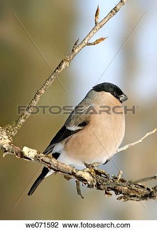 Stock Photo of Eurasian Bullfinch ( Pyrrhula pyrrhula ) we071592.