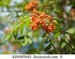 Sorbus aucuparia Stock Photo Images. 684 sorbus aucuparia royalty.
