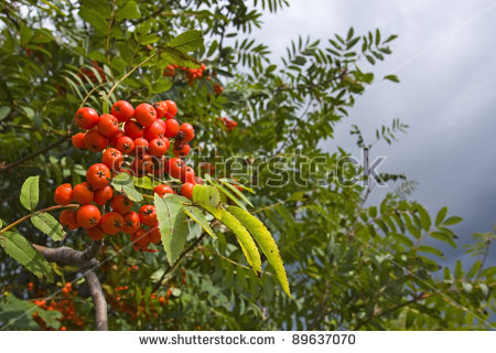Rowan, European Mountain Ash, European Mountainash (Sorbus.