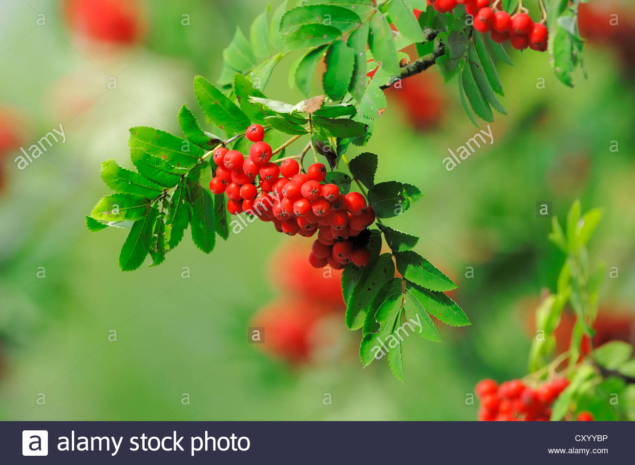 European Rowan Or Mountain.