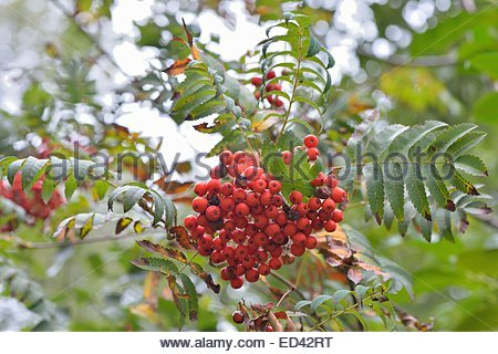 European Mountain Ash (sorbus Aucuparia), Flowers And Leaves. Höga.