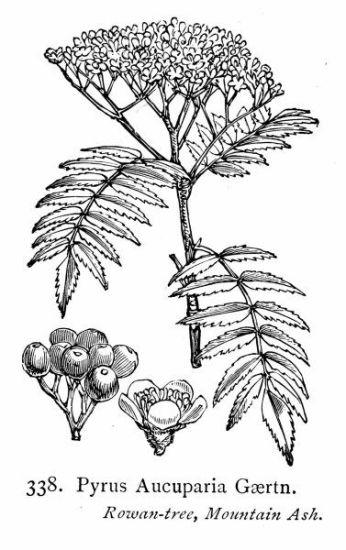Pyrus aucuparia (1).