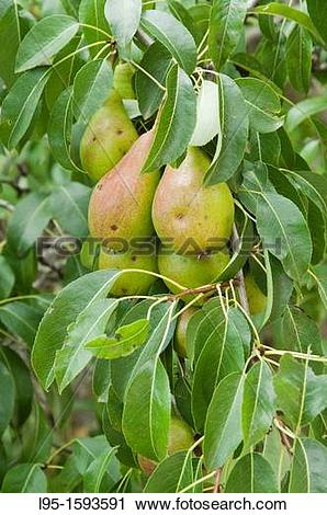Stock Photography of Pear tree Pyrus communis with fruits.