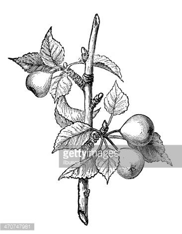 Antique Illustration of European Pear (pyrus Communis) premium.