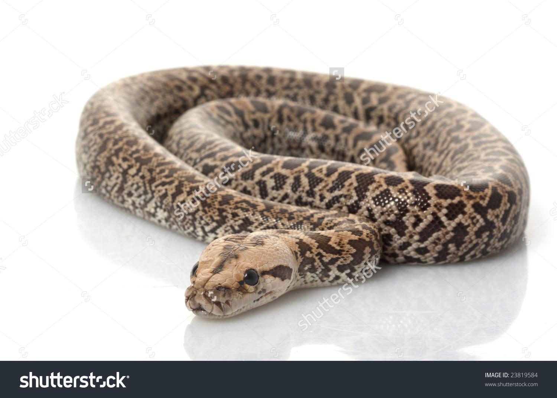 Granit Burmese Python Python Molurus Bivittatus Stock Photo.