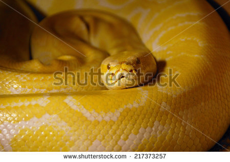 """python Molurus Bivittatus"" Stock Photos, Royalty."