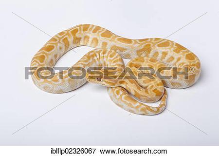 "Picture of ""Burmese Python (Python molurus bivittatus), albino."