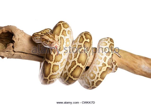 Python Molurus Bivittatus Stockfotos und Python Molurus Bivittatus.