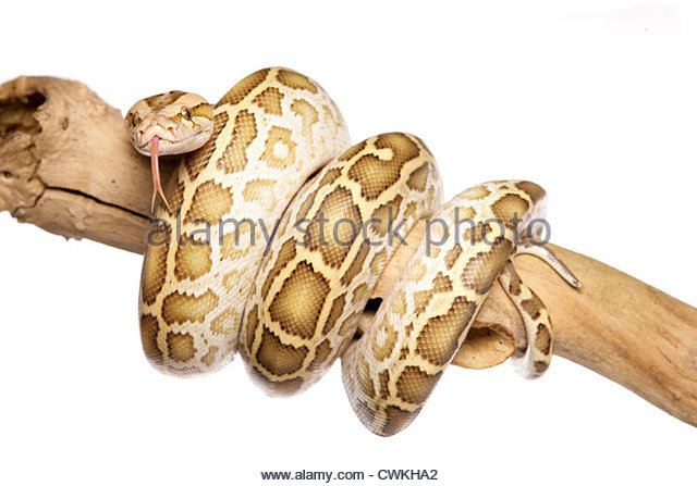 Python Bivittatus Stock Photos & Python Bivittatus Stock Images.