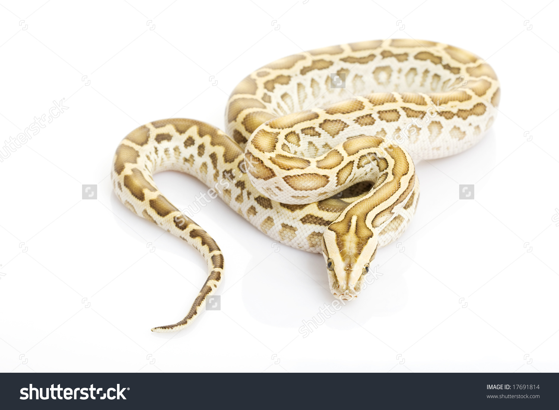 Hypo Burmese Python Python Molurus Bivittatus Stock Photo 17691814.