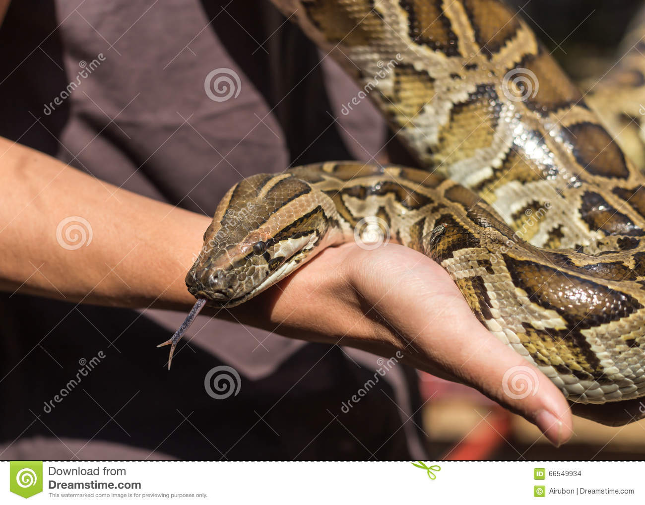 Ball Python ( Molurus Bivittatus ) Royalty Free Stock Photos.