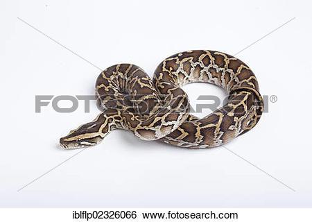"Stock Images of ""Burmese Python (Python molurus bivittatus."
