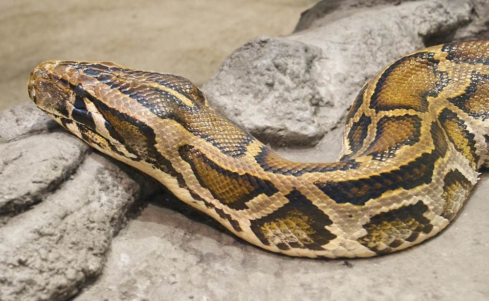 Burmese python Python molurus bivittatus.