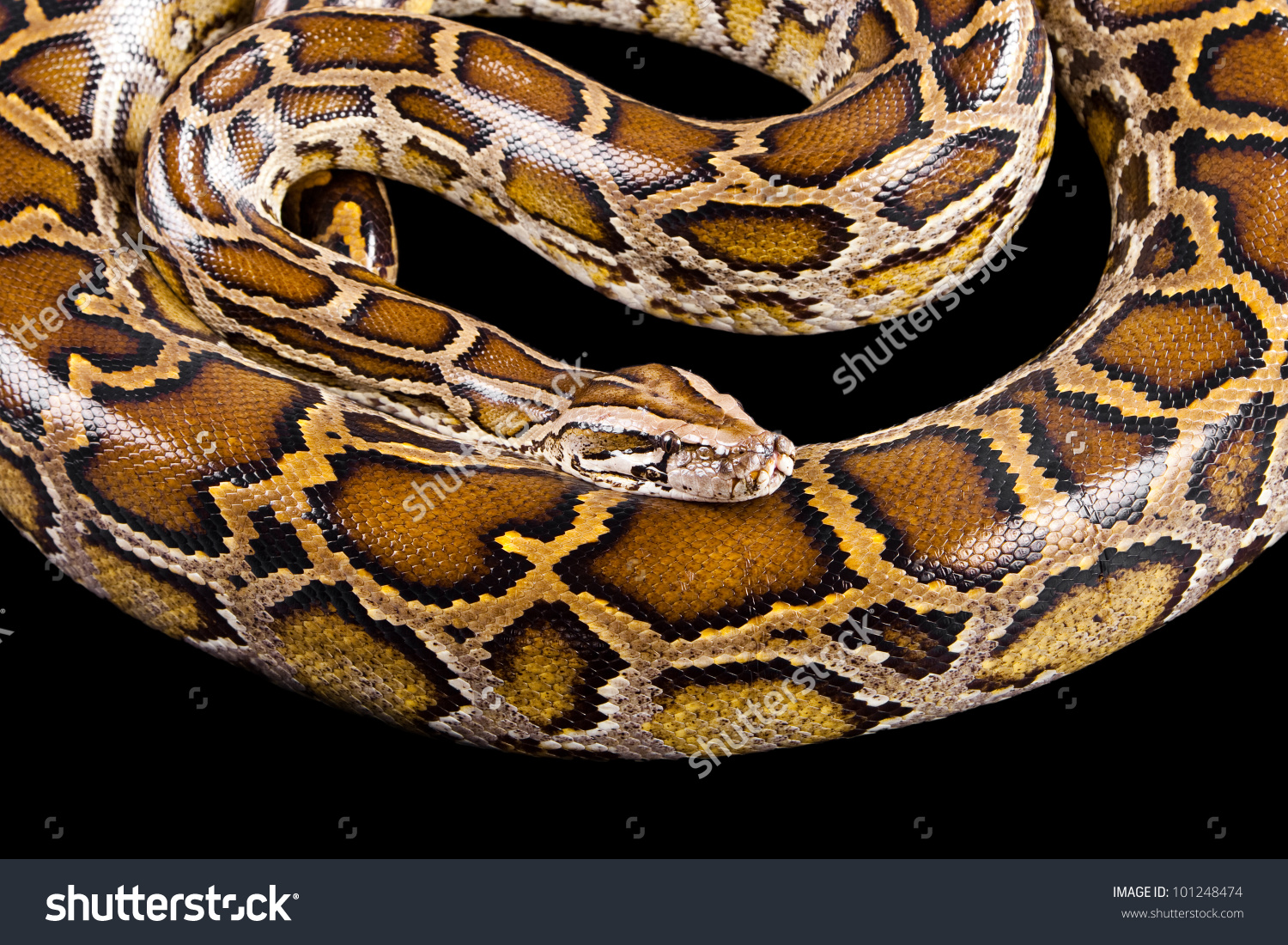 Burmese Python Python Molurus Bivittatus Isolated Stock Photo.