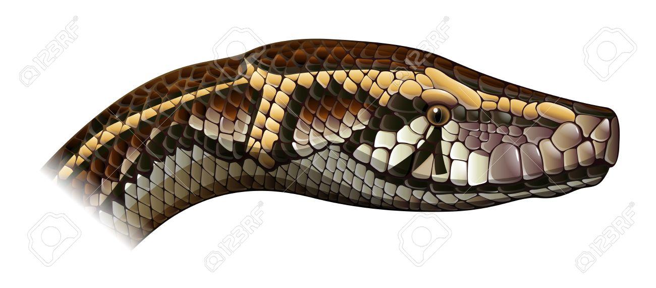 Illustration Of Python Molurus.