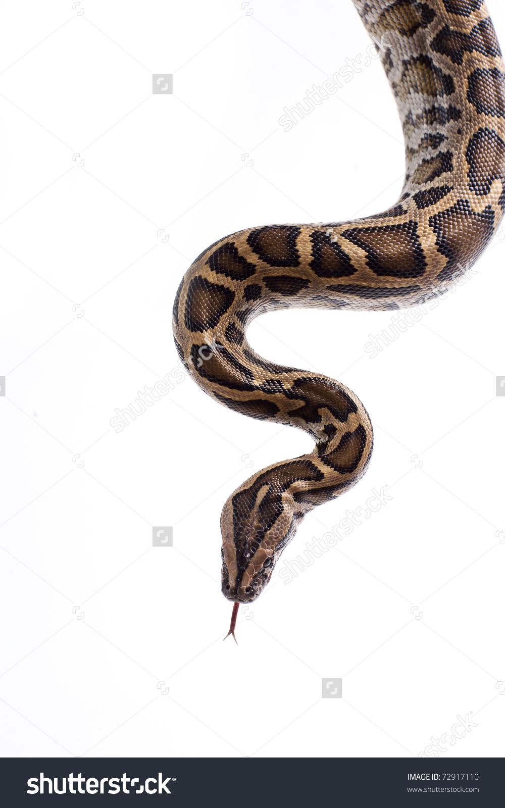 Close Tiger Python Python Molurus Burmese Stock Photo 72917110.