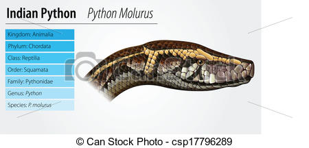 Vector of Indian python.
