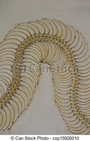 Stock Photography of Skeleton of Burmese Python, Python molurus in.