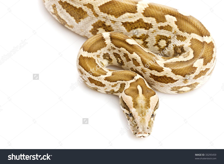 Indian Rock Python (Python Molurus) Isolated On White Background.