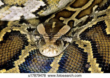 Pictures of Adult female Burmese python (Python molurus), escaped.