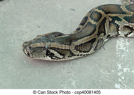 Stock Photography of Detail of the head of python (Python molurus.