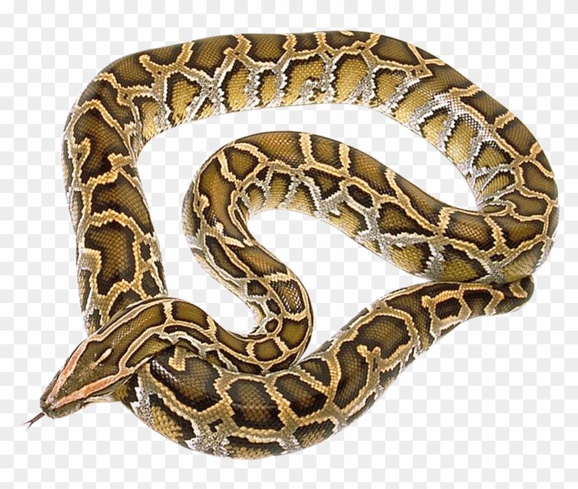 Python Snake, King Cobra, Anaconda, Reptiles, Clip.