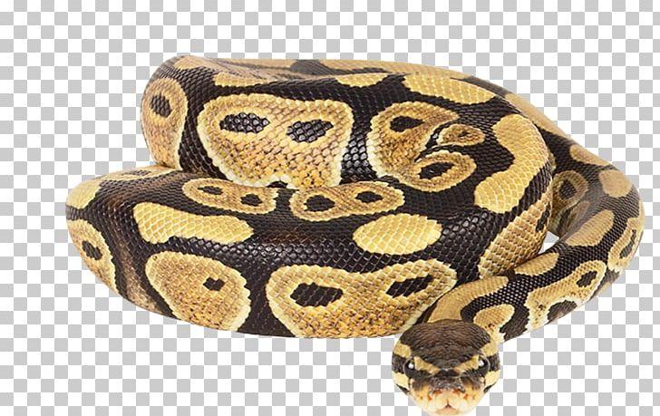 Dwarf Burmese Python Ball Python Reticulated Python African.